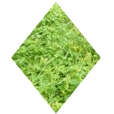 Grüne Raute, hochkant