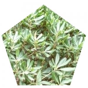 Grünes Fünfeck