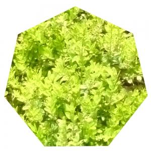 Grünes Siebeneck